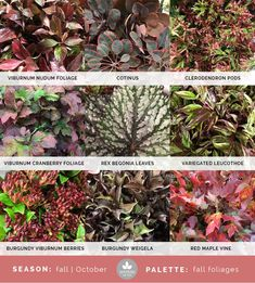 Mayesh Cooler Picks - Fall - Fall Foliages | top: viburnum nudum foliage, cotinus, clerodendron pods | middle: viburnum cranberry foliage, rex begonia leaves, variegated leucothoe | bottom: burgundy viburnum berries, burgundy weigela, red maple vine
