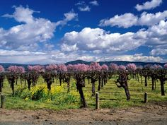 Napa Valley, CA - Wine & Travel I am so lucky to live in the wine country.  Love it here.
