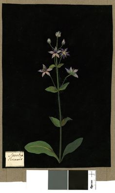 Swertia Perennis, from an album (Vol.IX, 43). 1780 Collage of coloured papers, with bodycolour and watercolour, on black ink background