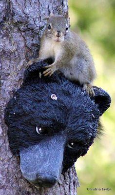 """ Bear?  What bear?"""