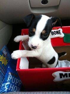 Beautiful tricolour Jack puppy