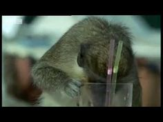 Drinking norms of vervent monkeys parallel those of humans, suggesting they also possess a genetic component for alcoholism. -- FULL ARTICLE:  http://www.guardian.co.uk/science/punctuated-equilibrium/2011/apr/26/1