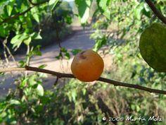 Celtis iguanaea - Esporão-de-galo. Fruto tipo baga. Flora Digital do Rio Grande do Sul e de Santa Catarina: Celtis iguanaea