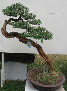 Potentilla (Cinquefoil) bonsai in Shakan (leaning) style.