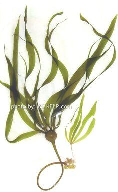 BC Kelp-About Kelp British Columbia Kelp/Canada BC Kelp-About Kelp ...