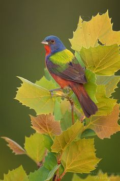 Male Painted Bunting No. 9 by Wessonnative on DeviantArt Pretty Birds, Love Birds, Beautiful Birds, Animals Beautiful, Small Birds, Colorful Birds, Painted Bunting, Bunting Bird, Photo Animaliere