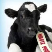 The increased desire for more milk and financial profit has resulted in intense disregard for our animals. As I previously reported in this article, the dairy industry has a number of practices which can only be described as brutal and unnecessary, one of which is the treatment of 'bobby calves'.