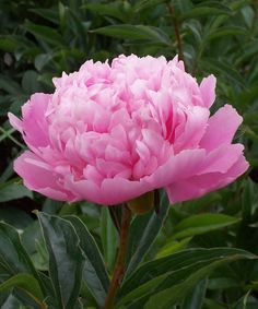 Paeonia Lactiflora Officinalis Monthly Specials For February picture