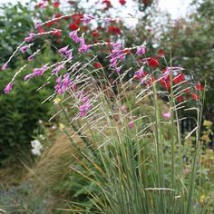 Dierama pulcherrimum - Canne à pêche des anges – Gracieuse vivace à fleurs roses