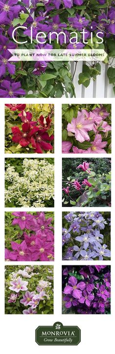 your love for clematis until late summer. Here are a few late-blooming clematises we recommend to plant now.Extend your love for clematis until late summer. Here are a few late-blooming clematises we recommend to plant now. Big Plants, Garden Plants, House Plants, Clematis Plants, Clematis Vine, Fruit Garden, Flowers Perennials, Planting Flowers, Flower Gardening