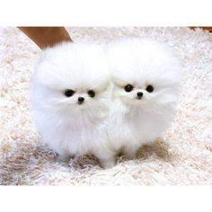 pomeranian teacup teddy bear cut - Google Search