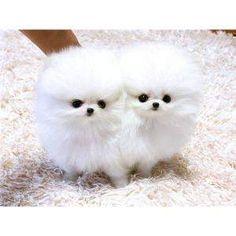Teacup Pomeranian Pups