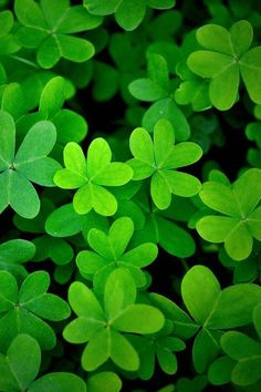Green clover~ Wish for a four leaf clover