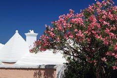 Oleander shrub, Bermuda