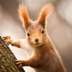 There are lots of squirrel like mammals like the ground hog, gopher as well as prairie dog. When it comes to foods, what do squirrel love to eat? Flying Squirrel Pet, Cute Squirrel, Baby Squirrel, Squirrels, Squirrel Humor, Cute Baby Animals, Animals And Pets, Funny Animals, Squirrel Pictures