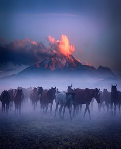 Herd of Horses in the foggy morning at Erciyes Mountain, Kayseri.