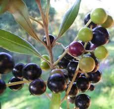 Resultado de imagem para oliveira