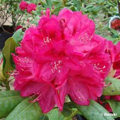 Thank you for taking a look at one of our several hundred Hybrid Rhododendrons we have for sale on Etsy and our website! At RhododendronsDirect.com, all we do is Rhododendrons!    Bloom Color:  Red    Bloom Season: Mid-Season    Plant Height(potential in 10 years): Five Feet    Hardy to: -10    Container Size/Age:  Two Gallon Plant -  These rhododendrons are typically rooting into a two gallon container or have spent one year as a field grown plant. They can range in height from 6 inches to…