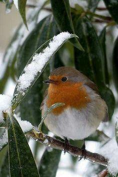 agoodthinghappened: Robin ~ Il neige encore… by Cute Birds, Pretty Birds, Small Birds, Colorful Birds, Little Birds, Beautiful Birds, Animals Beautiful, European Robin, Mundo Animal