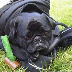 I even fit in your backpack  @Jessica Rybarczyk Pug