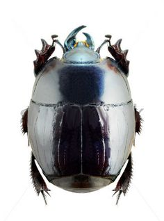 Pachylister Inaequalis  (Histeridae)