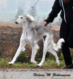best images and photos ideas about saluki dog - oldest dog breeds