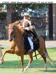One of my favorite Peruvian Paso horses.  He lost some ear due to frostbite but he still shows...and wins...with his beautiful gaits.