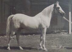 Rare photo of RAS stallion Mansour