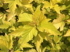Physocarpus Dart's Gold Plant Leaves, Herbs, Plants, Gold, Shrubs, Herb, Planters, Plant, Spice