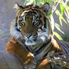 Sumatran Tiger | by spicysquid1