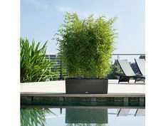 Poolside bamboo in planter
