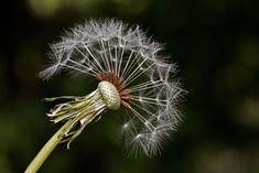 #close up #dandelion #flower #macro #nature #plant