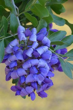 Texas Mountain Laurel: Dermatophyllum secundiflorum [Family: Fabaceae]; by Cindy McDaniel)
