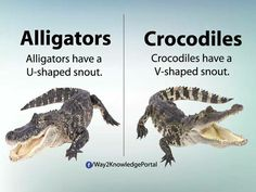 The Difference Between Alligators & Crocodiles Interesting English Words, True Interesting Facts, Interesting Facts About World, Learn English Words, Amazing Facts, English Tips, English Idioms, English Lessons, Slang English