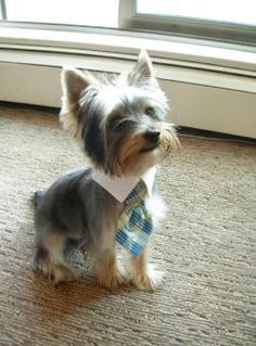 Yorkshire Terrier dog with a tie! omg, i need one for my yorkie Yorshire Terrier, Silky Terrier, Terrier Puppies, Bull Terriers, Yorkies, Maltipoo, Baby Animals, Funny Animals, Cute Animals
