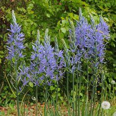Camassia leichtlinii 'Blue Danube' - Ein schöner Frühlingsblüher für den Naturgarten. Pflanzzeit für die Blumenzwiebeln ist im Herbst - online bestellbar bei www.fluwel.de
