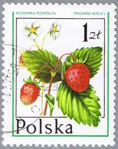 POLAND - CIRCA 1977: A stamp printed in Poland shows wild strawberries, a series of forest fruits, circa 1977