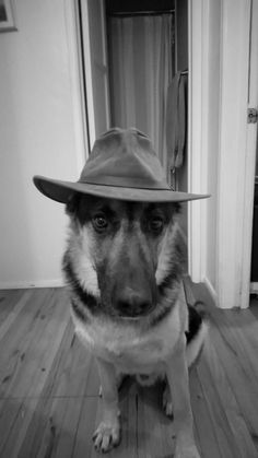 4e39672f517f Handsome  germanshepherd German Shepherd Dogs