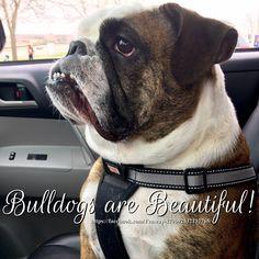 21Apr16 Fenway - Bulldogs - Bulldogs are Beautiful - Beauty - Love
