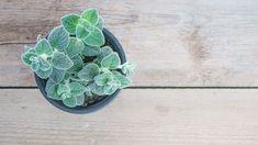 click4crete            : Τι είναι ο Δίκταμος Fruits And Veggies, Succulents, Seeds, Plants, Tips, Blog, Fruits And Vegetables, Succulent Plants, Blogging