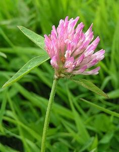 Clover - The flowers can be eaten raw, added to salads, boiled in soups, or dried and ground to flour. They can also be used to make fritters. Red clover is shown here, but white clover is just as good (but a little smaller, so it takes more work to collect). The leaves and stems are also edible in salads or as greens.