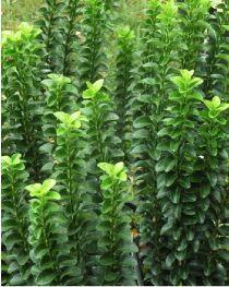 Euonymus japonicus Benkomasaki erecta J du Pic Vert à partir de 25€