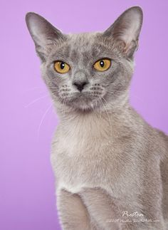 ~ European Burmese Cat ~ Types Of Cats Breeds, Cat Breeds, Siamese Cats, Cats And Kittens, European Burmese, Hypoallergenic Cats, Burma, Oriental Cat, All About Cats