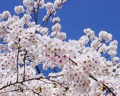full bloom sakura