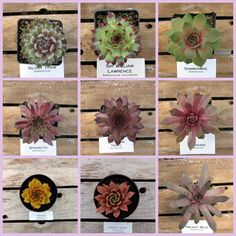 CHOOSE ONE OR ALL YOUR SUCCULENT HEN:  Silver Thaw  Sir William Lawrence  Sommerwise  Spherette  Starshine  Tectorum Triste  Tederheid  Twilight Blue  Wollcotts Variety  PLEASE READ! Sempervivums are ever changing chameleon. Do not be alarm when you receive your plant that it does not look exactly like the picture. Writing descriptions are quite difficult, it is the temperatures, length of daylight, soil, and intensity of sun the Hens and Chicks (Sempervivums) receive dictates the colors…