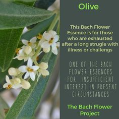 Bach Flower Remedy - OLIVE