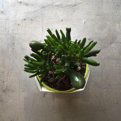 Succulent - Crassula Ovata