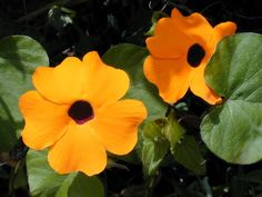 Unterfamilie Thunbergioideae: Die Schwarzäugige Susanne (Thunbergia alata) ist eine krautige Kletterpflanze, deren Sorten als Zierpflanzen verwendet werden  user:Jeffdelonge - from [1]  Thunbergia alata