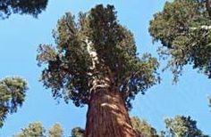 The Giant Forest, Sequoia and Kings Canyon National Park, California (click link for more info)