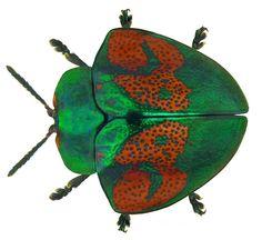 Stolas discoides (Linné, 1758)  Familie: Chrysomelidae   By Udo Schmidt